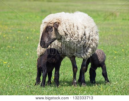 Suffolk sheep with two lambs on meadow