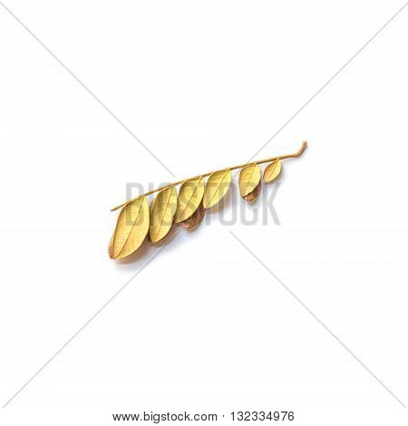 Closeup dried leave of silk tree isolated on white background