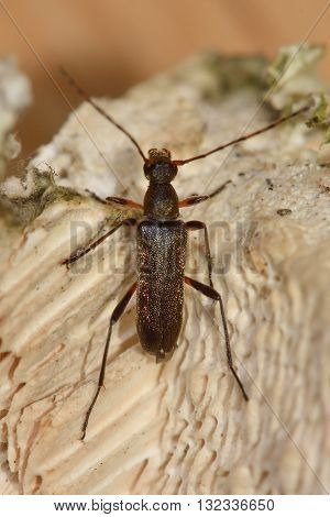 Grammoptera ruficornis longhorn beetle. Small insect in the family Cerambycidae characterised by extremely long antennae