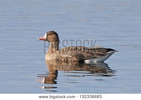 Greater white-fronted goose (Anser albifrons) resting in water in its habitat