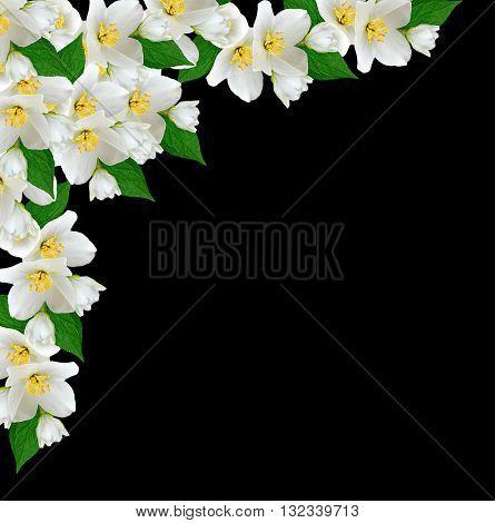 White jasmine flower. branch of jasmine flowers isolated on black background.