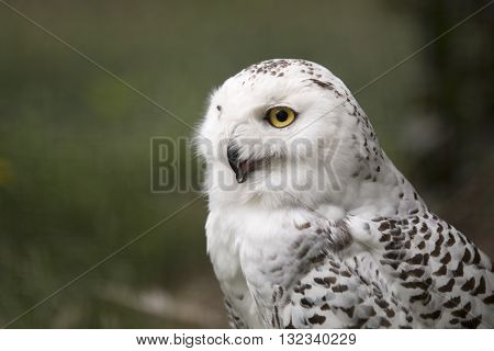 A snow owl headshot frome side, yellow eye