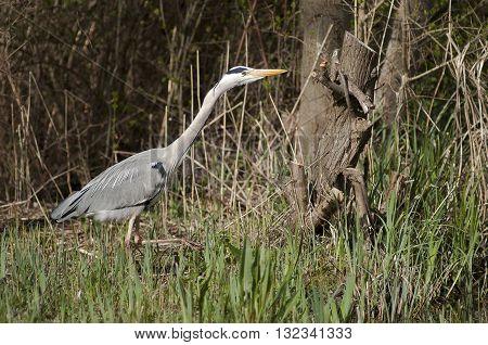 Grey Heron (Ardea cinerea) stganding in the vegetation