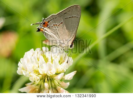 Tiny Gray Hairstreak butterfly feeding on a White Clover bloom
