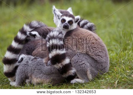 Lemurs sitting close together in a group