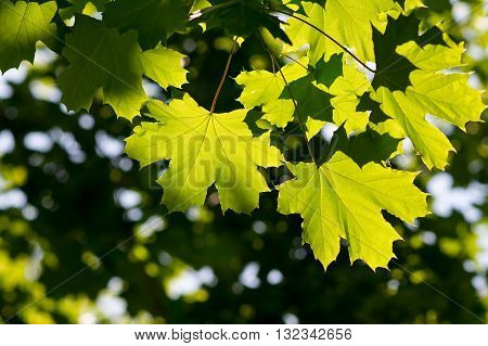 Green Maple leaves with blurred background. Closeup photo