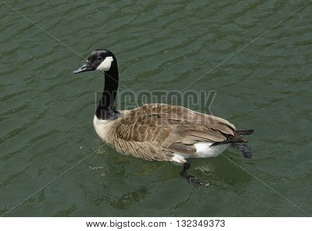 A Canada Goose, Branta Canadensis, shown swimming in left profile.