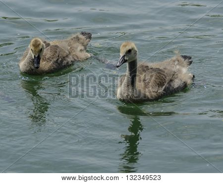 A pair of Canada Goose goslings swimming together