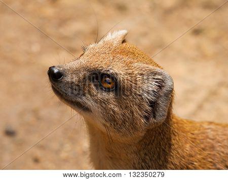 Head of Yellow mongoose - Cynictis penicillata