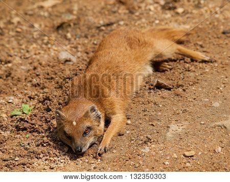 Yellow mongoose - Cynictis penicillata - having rest on the ground