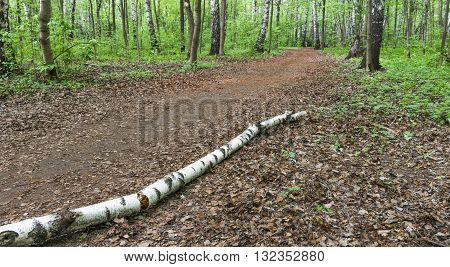 The trunk of an old birch tree blocked the footpath in the middle of the Park Sokolniki. Moscow. Russia.