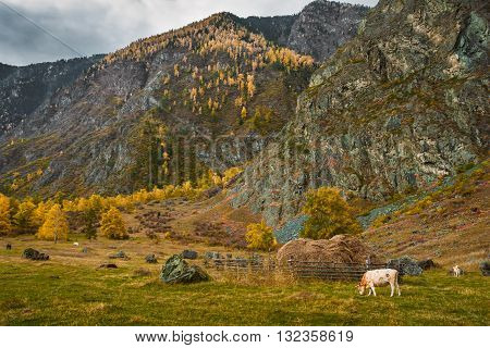 Beautiful rural landscape with few grazing cows