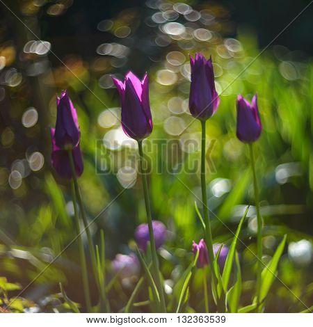 Close up photo of dark pink tulips in garden