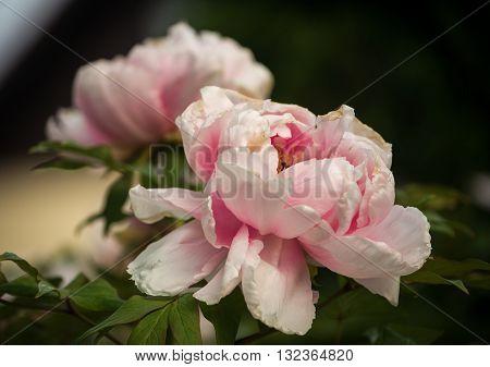 Beautiful flowers of Tree peony (Paeonia suffruticosa) in garden.