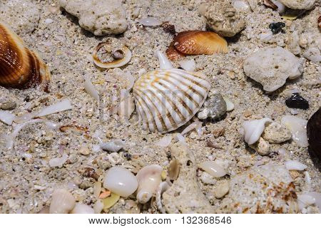 Ribbed cockleshell on a sand on the beach of Arabian Gulf in United Arab Emirates