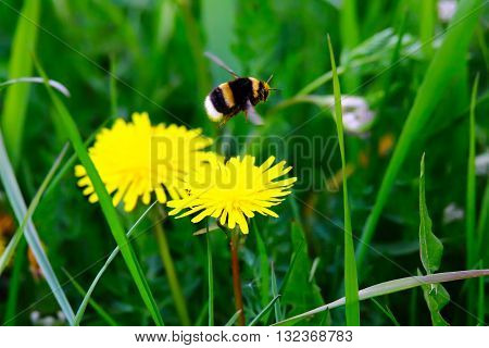 bumblebee flying from flower, sunny summer day