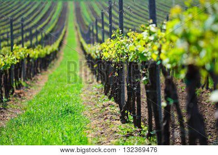 Vineyard landscape, sunny summer day on vineyards