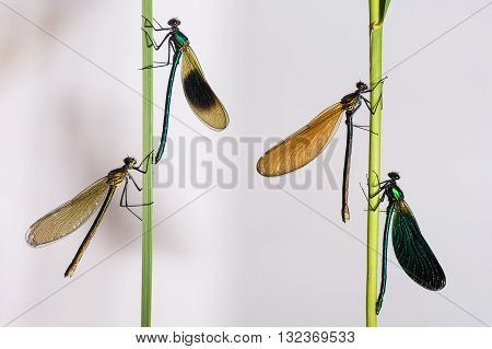 Banded and beautiful demoiselles (Calopteryx  splendens and C. virgo). Male and female of the two British species in the family Calopterygidae C. splendens on the left.