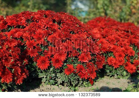 Culture decorative garden chrysanthemums has more than a thousand years. In China , where most of the genus Chrysanthemum