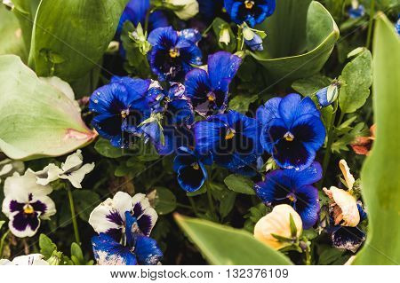 Bright blue floral violets on the lawn