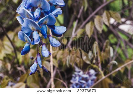 Blue Japanese Wisteria flowers in macro photography