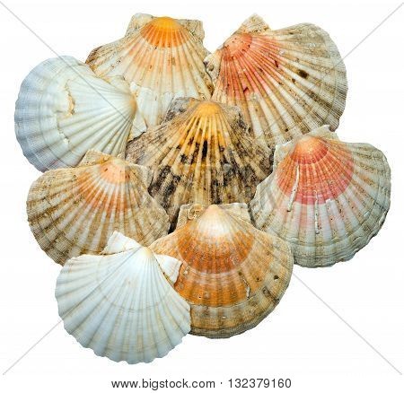 Detail of eight scallop seashells isolated on white background