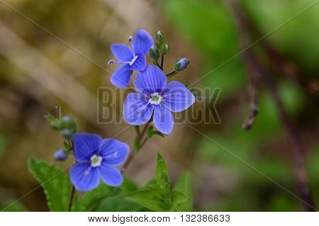 Macro photo of a german speedwell (Veronica chamaedrys). A common wildflower in Europe.
