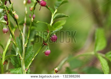 Flower on a European Blueberry bush (Vaccinium myrtillus).