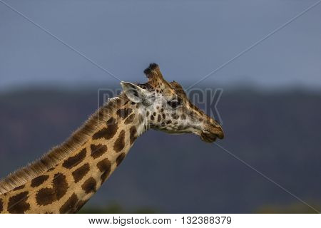 Profile of a giraffe. Profile photo of a giraffe. Its face and neck is in the frame. Background is green and blue with blur effect. The photo had been taken in Kenya. It has irregular jagged star-like blotches. It's a daytime. Greensward.