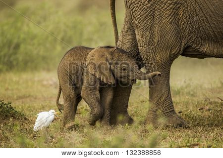 Baby elephant is playing a with bird. Baby elephant is playing with white bird. It is also cuddling its mother. It's smiling. Hind legs of mother can seen at frame. Baby elephant standing. The bird is standing with. The photo had been taken in Amboseli.