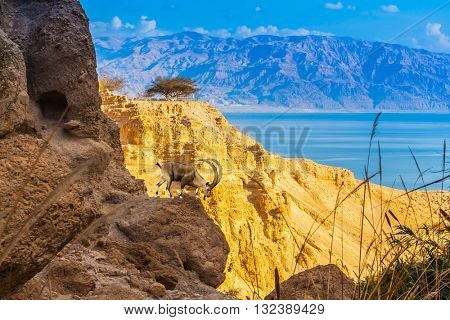 Mountain goat down from the ledge. The ancient mountains about the Dead Sea at sunset