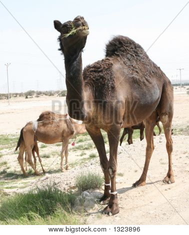 Grazing Camels