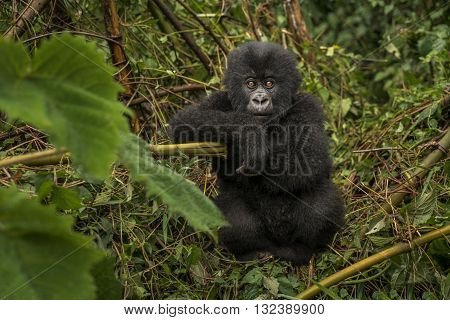 Baby gorilla look like pose for the camera. Baby gorilla sitting and looking towards the camera. It is sitting in the middle of leaves. The baby gorilla looking like bewildered. His eyes wide open. It's front view. Its hair color is black.