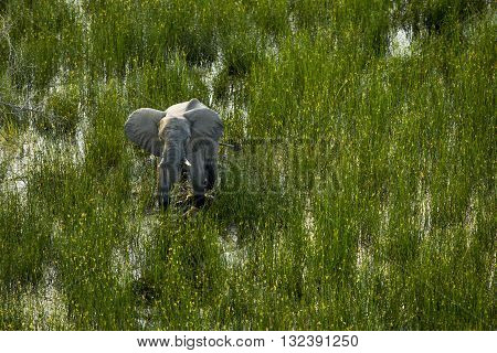 An elephant is walking in Okavango delta. An elephant is walking on wetland area in Okavango basin. It's in the middle of green field. It's entire body can seen clearly with it's tusk. There are yellow flowers are on the top of grasses. It's a daytime.
