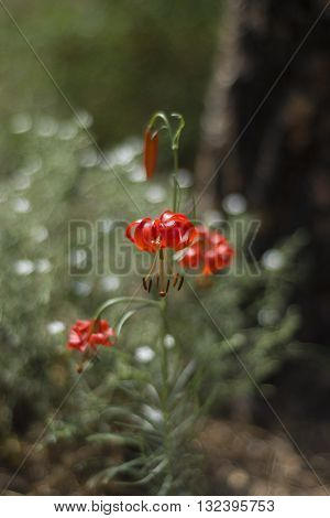 Wild flower growing in the forests of Siberia.