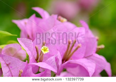 Purple bougainvillea in closed-up on natural green background.