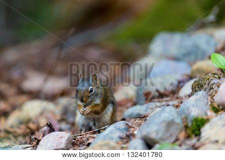 Red Squirrel in a Boreal forest in northern Quebec. The red squirrel or Eurasian red squirrel is a species of tree squirrel. The red squirrel is an arboreal, omnivorous rodent.