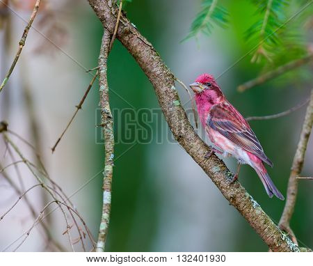 The Purple Finch are a genus, of perching birds in the finch family . Most are called