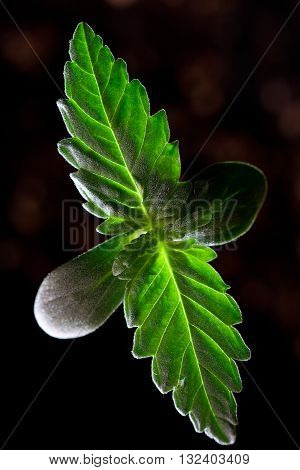 Cannabis Seedling - Also Known as Marijuana Plant