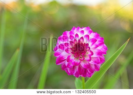 Home grown Pompon Dahlia flowers in white color marked with reddish purple magenta edge blooming in the garden