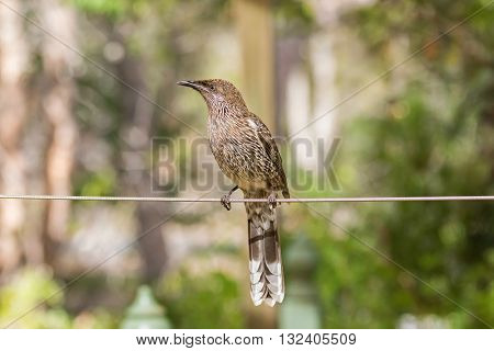 Closeup of Little Wattle Bird (Anthochaera) perching on a wire with blurred garden background in Australia