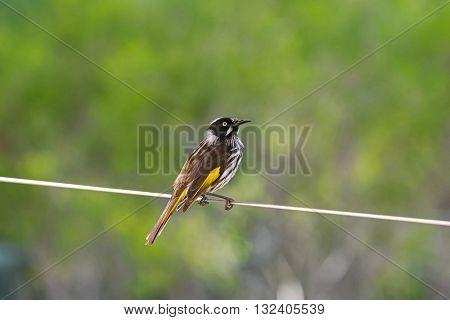 Closeup of New Holland Honeyeater bird (Phylidonyris novaehollandiae) perching on a wire in Australia