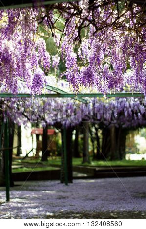 Live canopy of blossoming flowers lilac wisteria