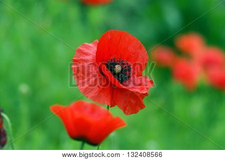 Open flower bright red poppy in a field