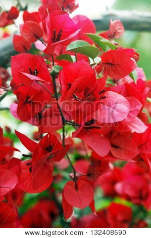 The branch of bright red bougainvillea flowers