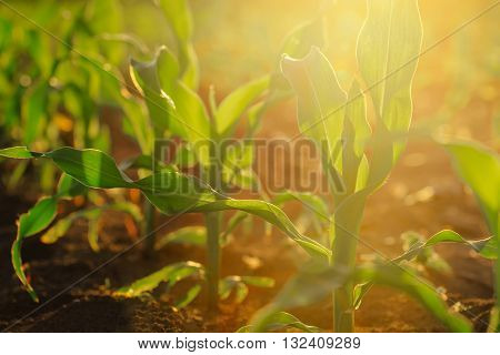 Corn crops growing oin field sunlight flare selective focus