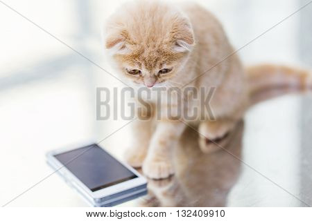 pets, animals, technology and cats concept - close up of scottish fold kitten with smartphone