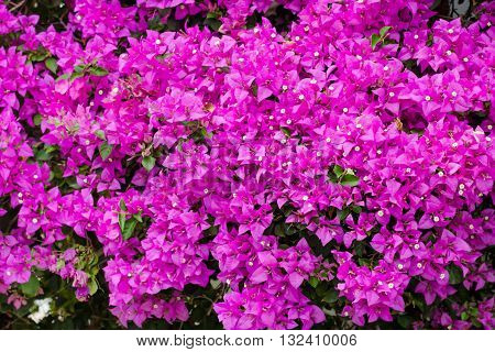 close up of pink bougainvillea background in garden