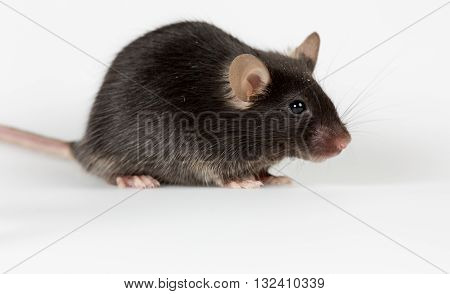 healthy female black mouse live in lab