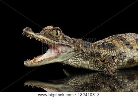 Closeup Young Cayman Crocodile Reptile with opened mouth Isolated on Black Background Side view